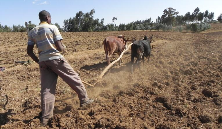 In low-tech agriculture, land preparation is done manually or assisted by draft animals, where sufficient land is available for grazing.