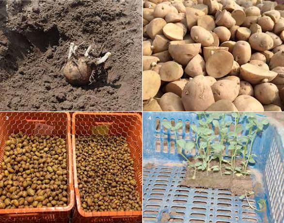 Vegetative propagation material