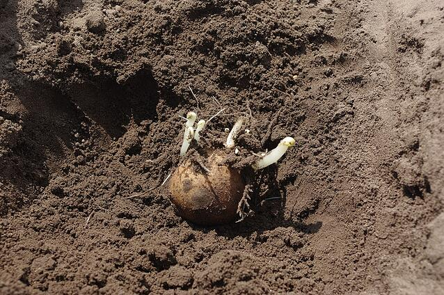 Seed tubers (seed potatoes) within and between lots differ in health status.