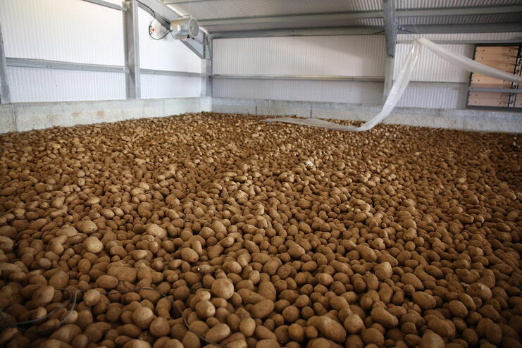 Potatoes are stored with per ton an increasing labor need for handling and increasing need for space to store when going from bulk to boxes to big bags, bags and diffused light.