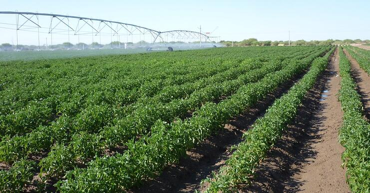 Potato production in long days produced for the global market requires specifically adapted varieties