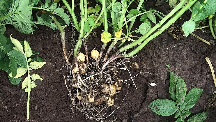 Seed tubers vary in number of eyes and sprouts that yield different numbers of stems and (lateral) stolons and tubers