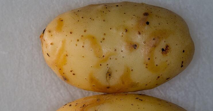 PVY-NTN besides leaf symptoms also causes tuber symptoms.
