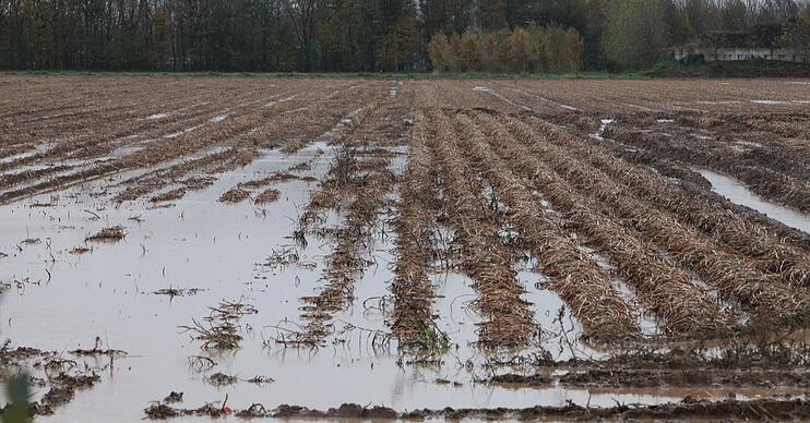 Excessive rains negatively affect potato crop production.