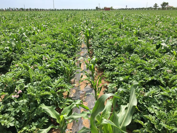 Mixing potatoes with other crops: intercropping