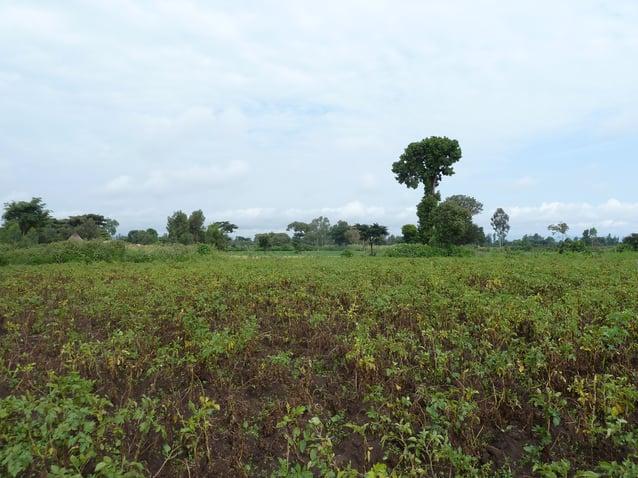 Late blight pressure decreases for winter crops.